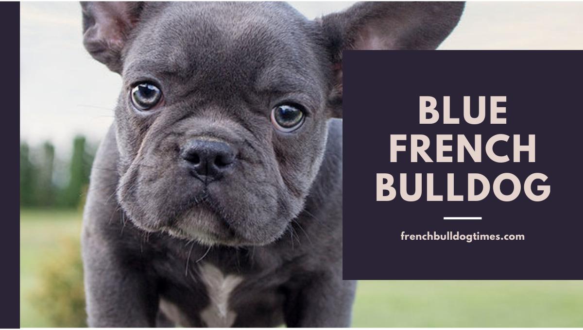 Blue French Bulldog Image