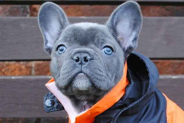 Blue Frenchie puppies