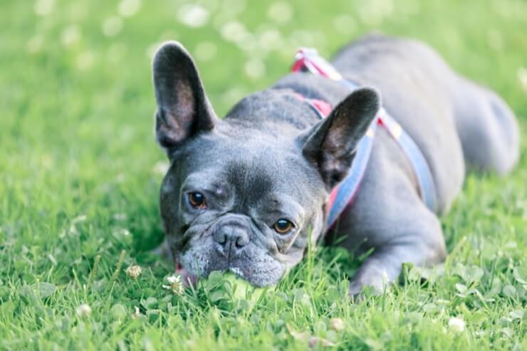 Mini blue french bulldog puppy