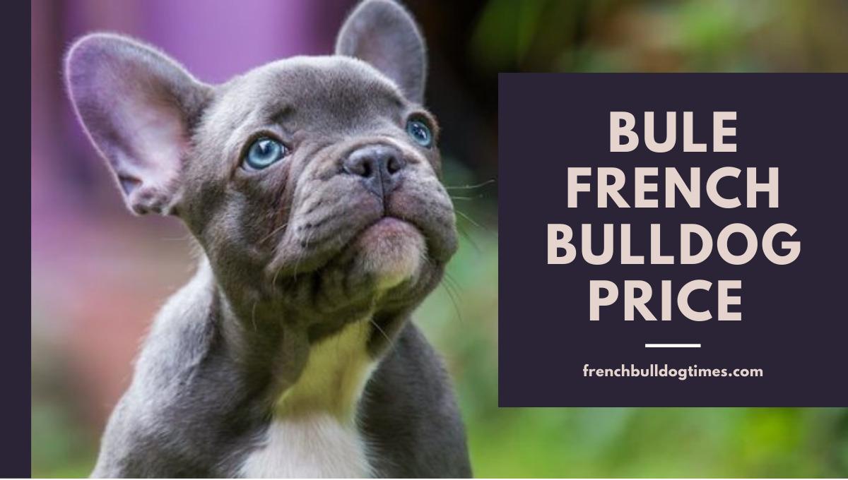 Blue French Bulldog Price