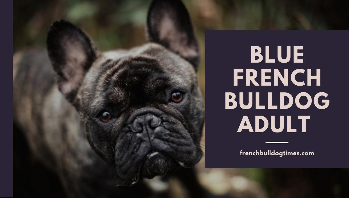 Blue French Bulldog adult