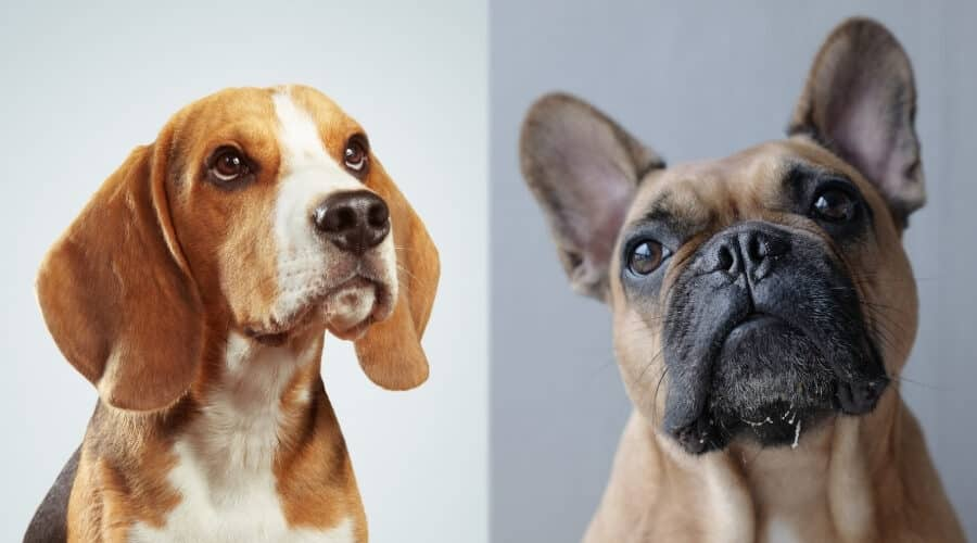 Comparison of French bulldog cost with similar breed