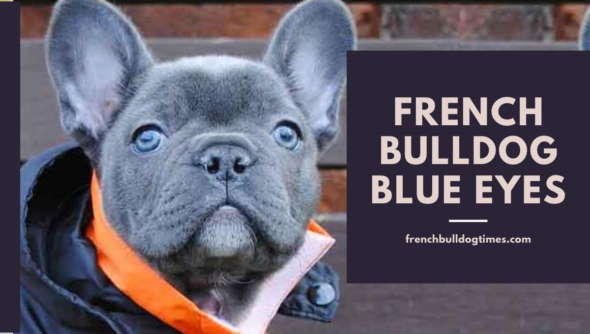 French bulldog blue eyes