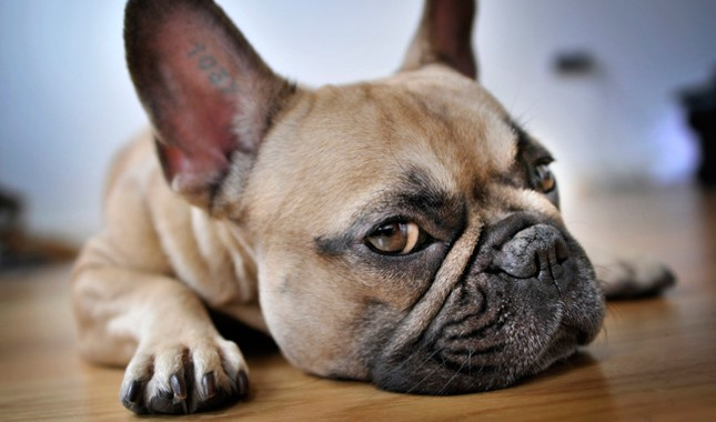 French bulldog inexpensive or cheap
