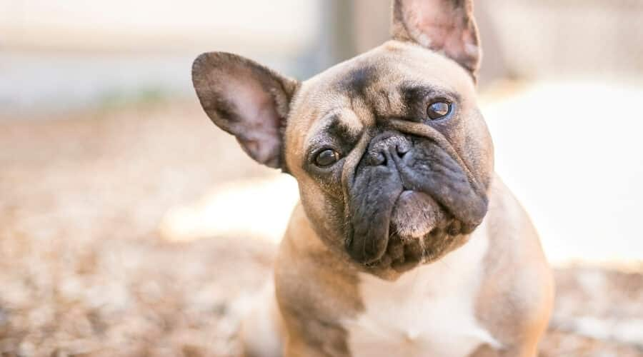 Some facts and traits of adult French bulldogs