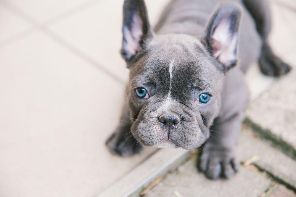 blue french bulldog blue eye