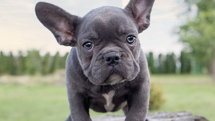 french bull dogs blue eyes