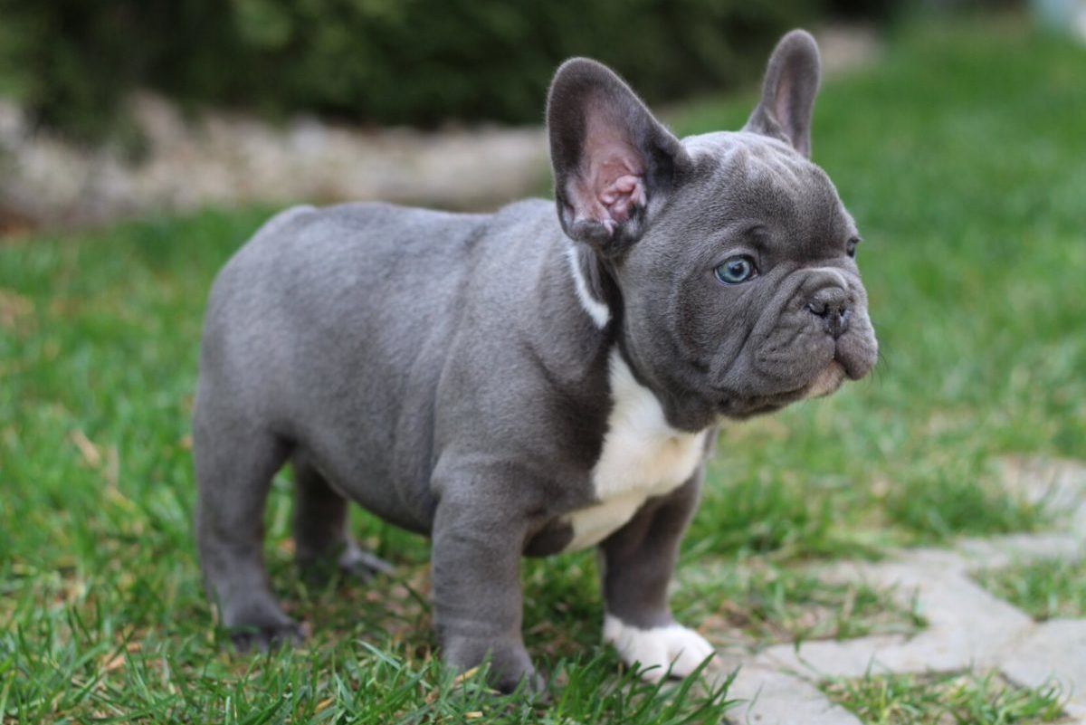 why are French bulldogs so expensive