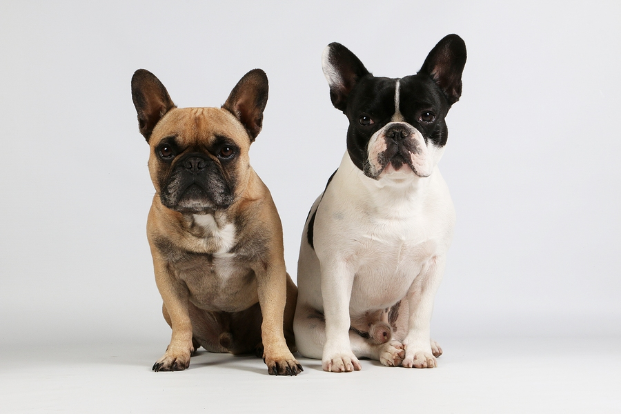 Difference between male and female French bulldog