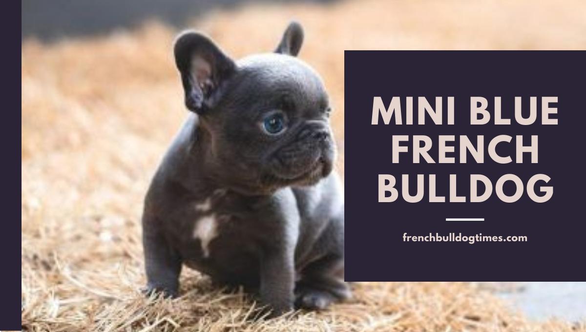 Mini Blue French BullDog