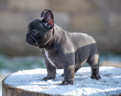 blue french dog
