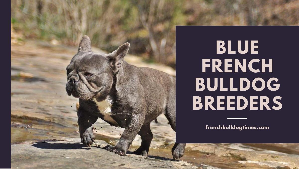 Blue French Bulldog Breeders