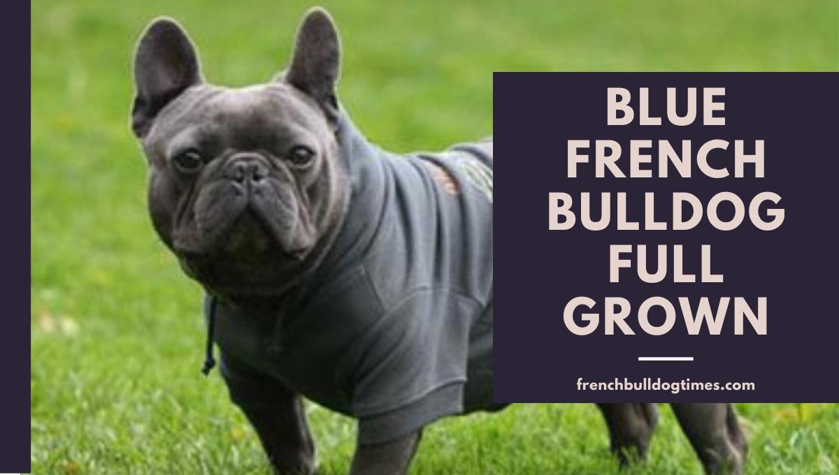 Blue French Bulldog Full Grown