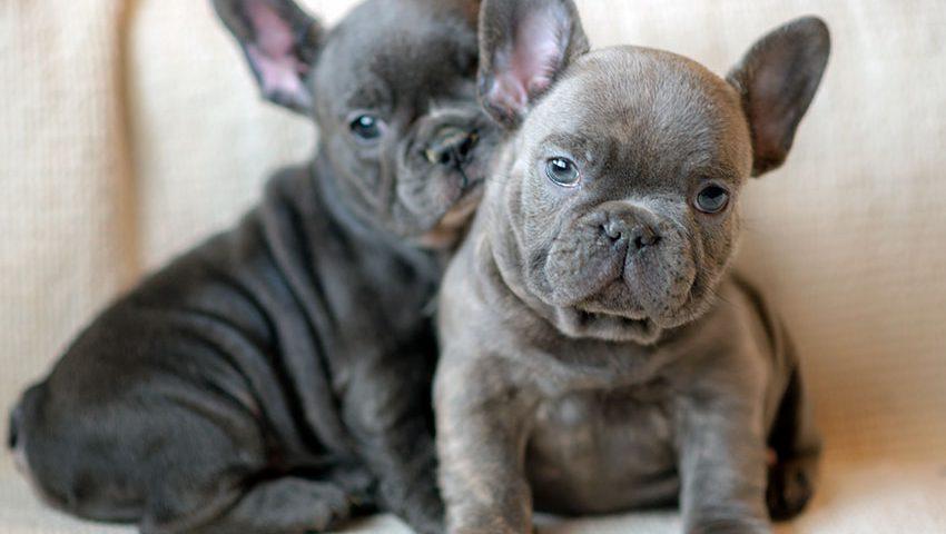 Blue Frenchies US