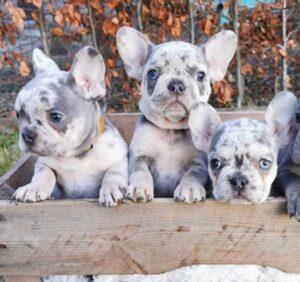 Blue Merle French Bull dog
