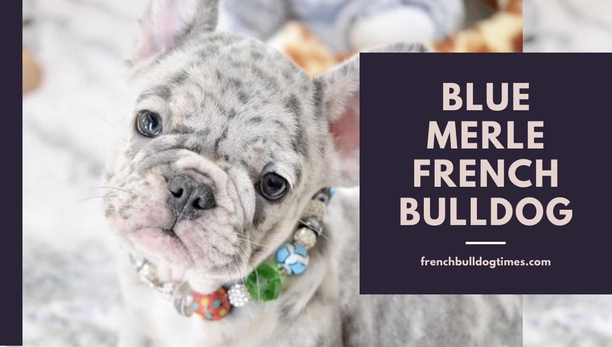 Blue Merle French Bulldog