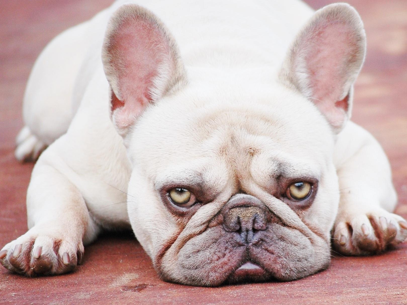 French Bulldog Texas