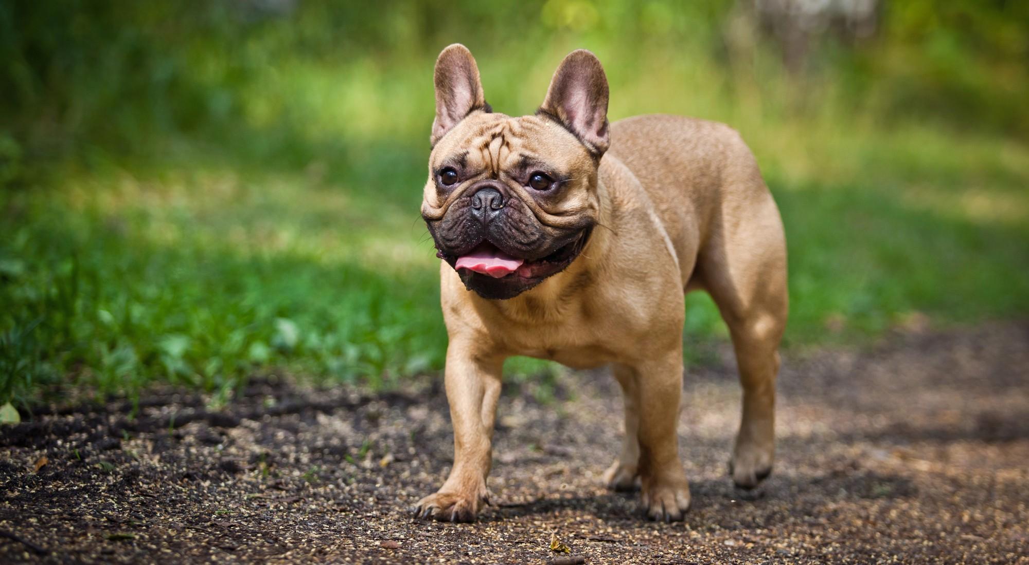French Bulldogs Breeding Methods